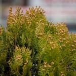 花粉症のための食べ物のトレンド、ヨーグルトも本格的に、みかんも対策に?